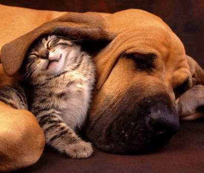 A Kitten sleeping next to a big dog